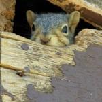 squirrelinattic