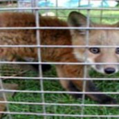 Obtaining Safe Raccoon Removal in Reynoldsburg