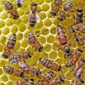 Consider the Following When It Comes to Honey Bee Removal in Phoenix AZ