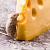 Understanding the Importance of Rodent Control in Kansas City, MO