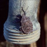 Are Stink Bugs in Marlboro NJ Harmful?