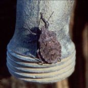 Are Stink Bugs in Marlboro NJ Harmful?