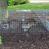 Hiring Animal Removal Services in Cape Cod, MA: How Do They Work?