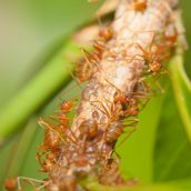Fire Ant Control Hilo Can Be Difficult Without Professional Help